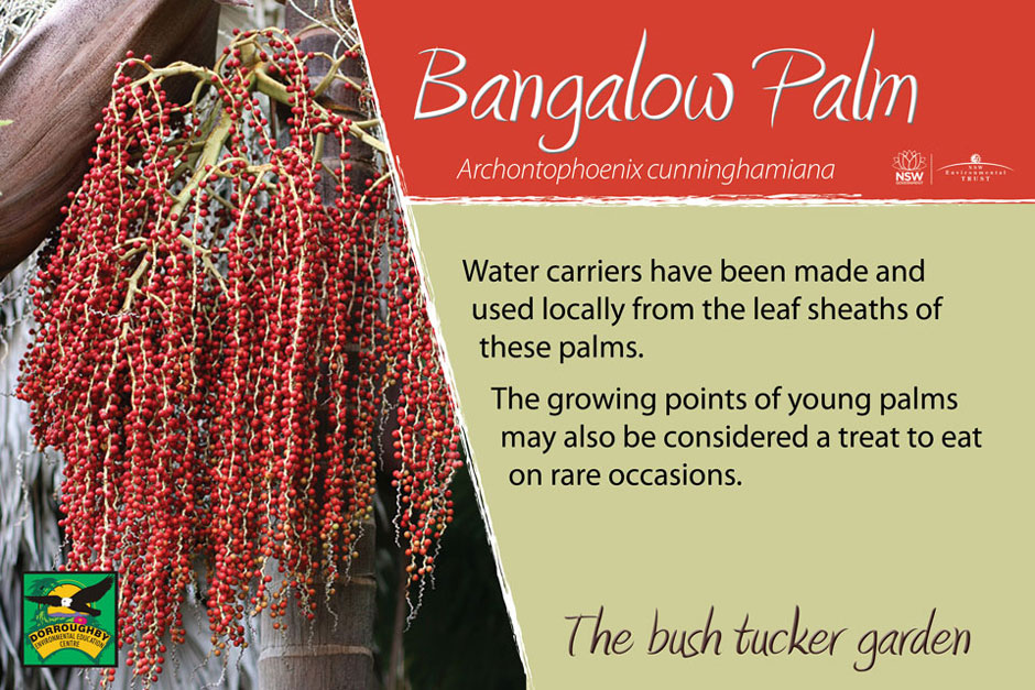Dorroughby bush tucker bangalow palm