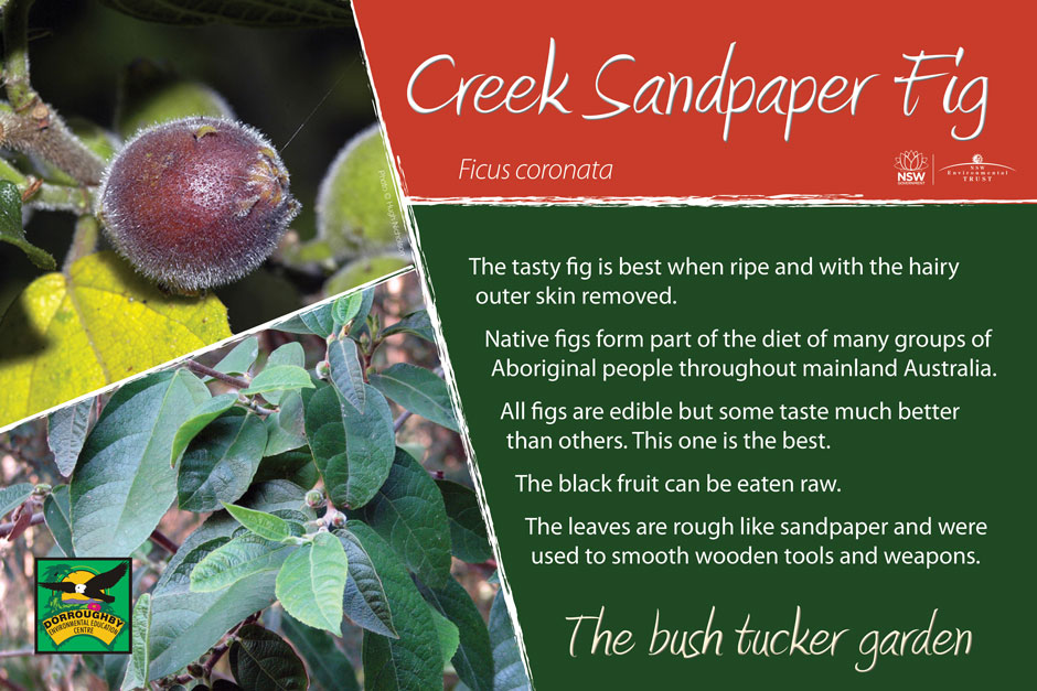 Dorroughby bush tucker creek sandpaper fig