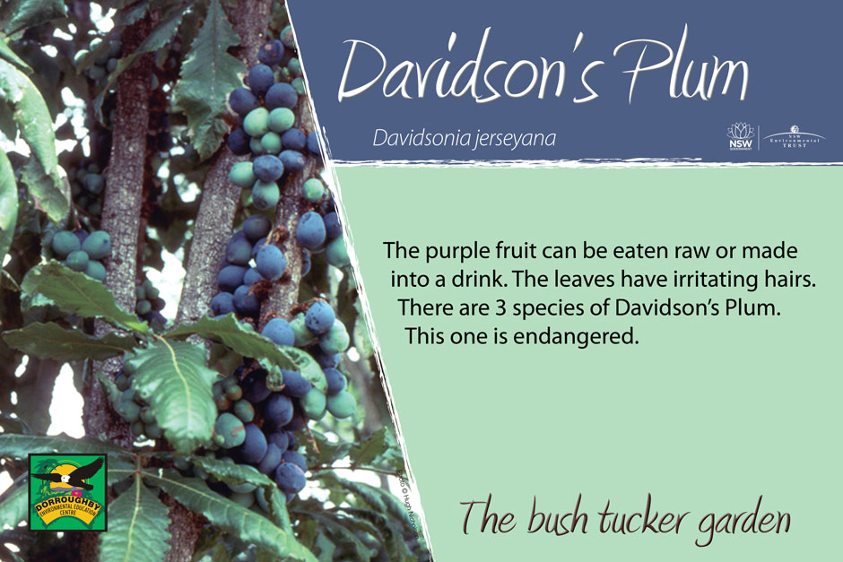 Dorroughby bush tucker davidsons-plum