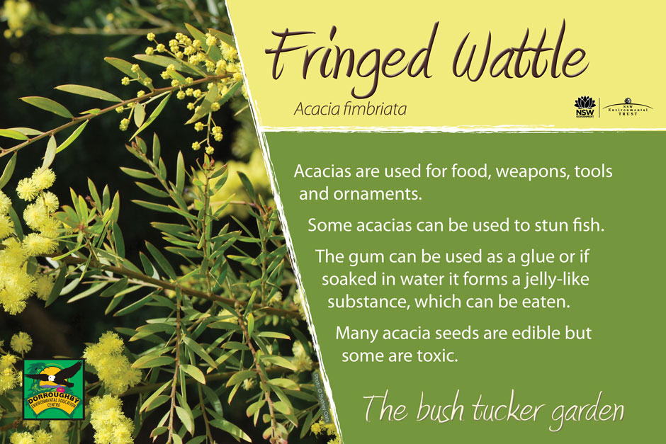 Dorroughby bush tucker fringed wattle