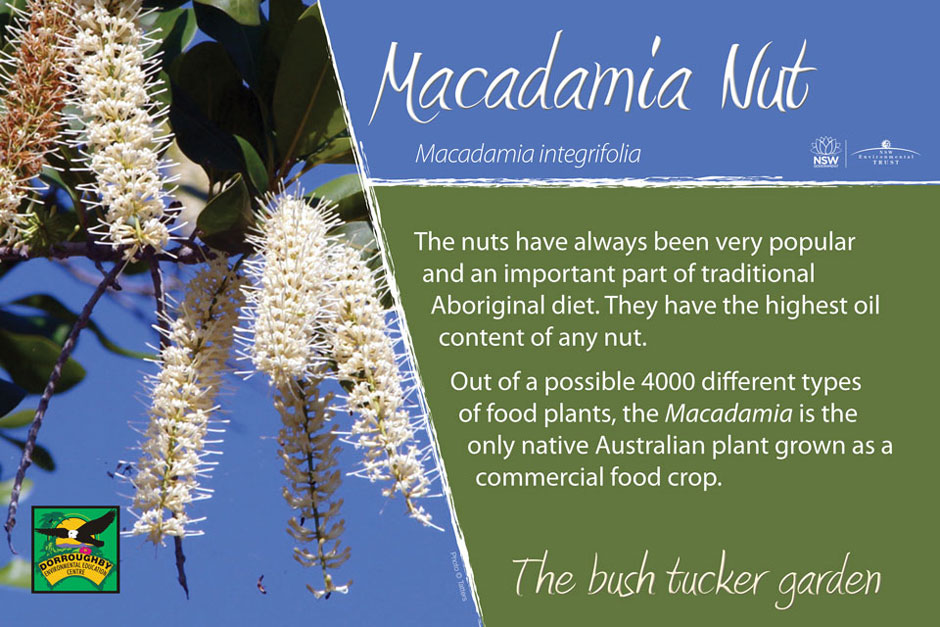 Dorroughby bush tucker macadamia nut