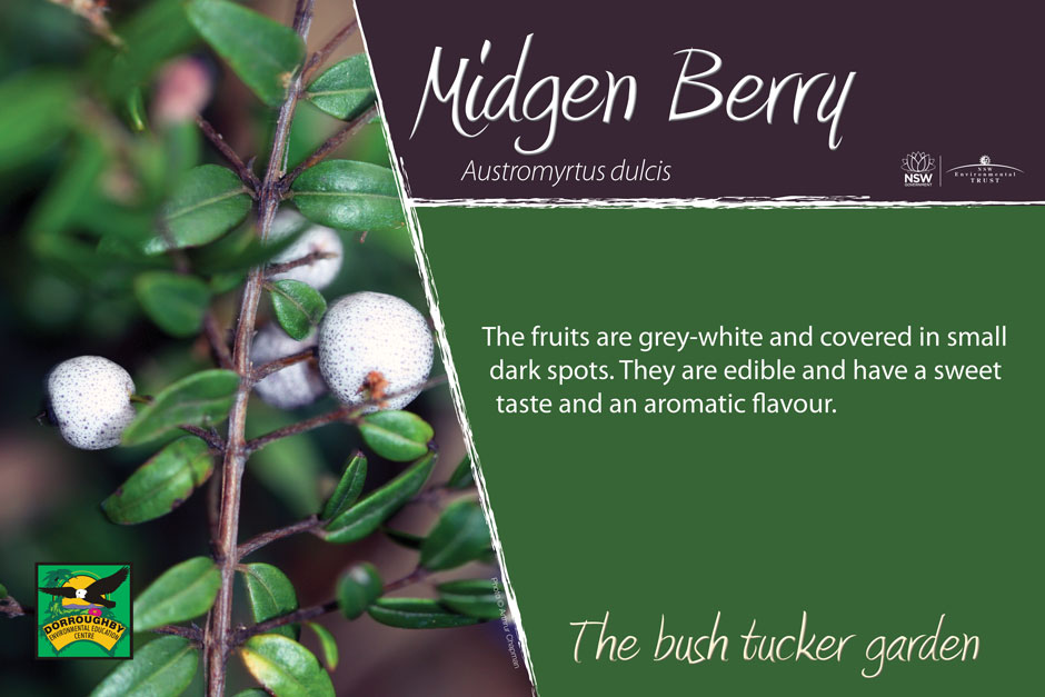 Dorroughby bush tucker midgen berry