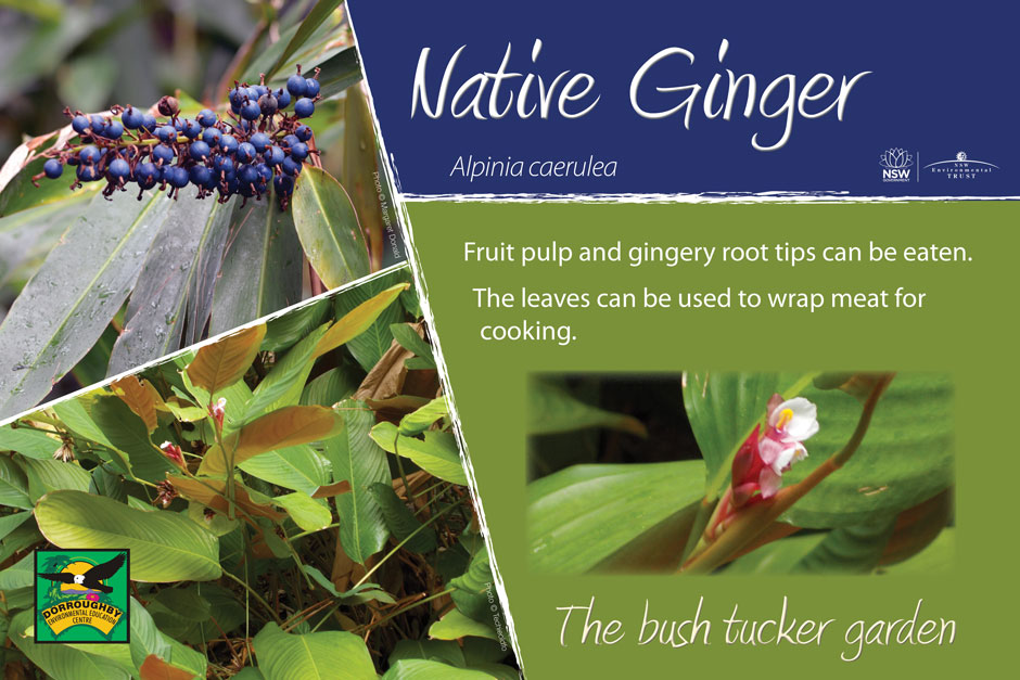 Dorroughby bush tucker native ginger