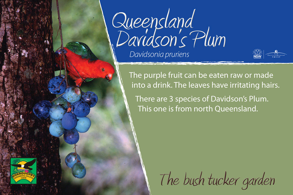 Dorroughby bush tucker queensland davidsons plum