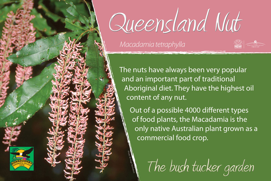 Dorroughby bush tucker queensland nut