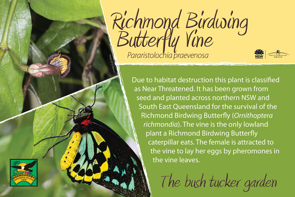 Dorroughby bush tucker richmond birdwing butterfly vine