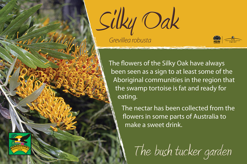 Dorroughby bush tucker silky oak